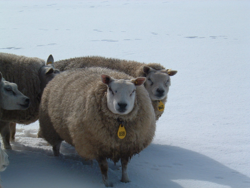 winter-schaap